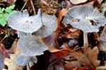 Haresfoot Inkcap (Coprinopsis lagopus)